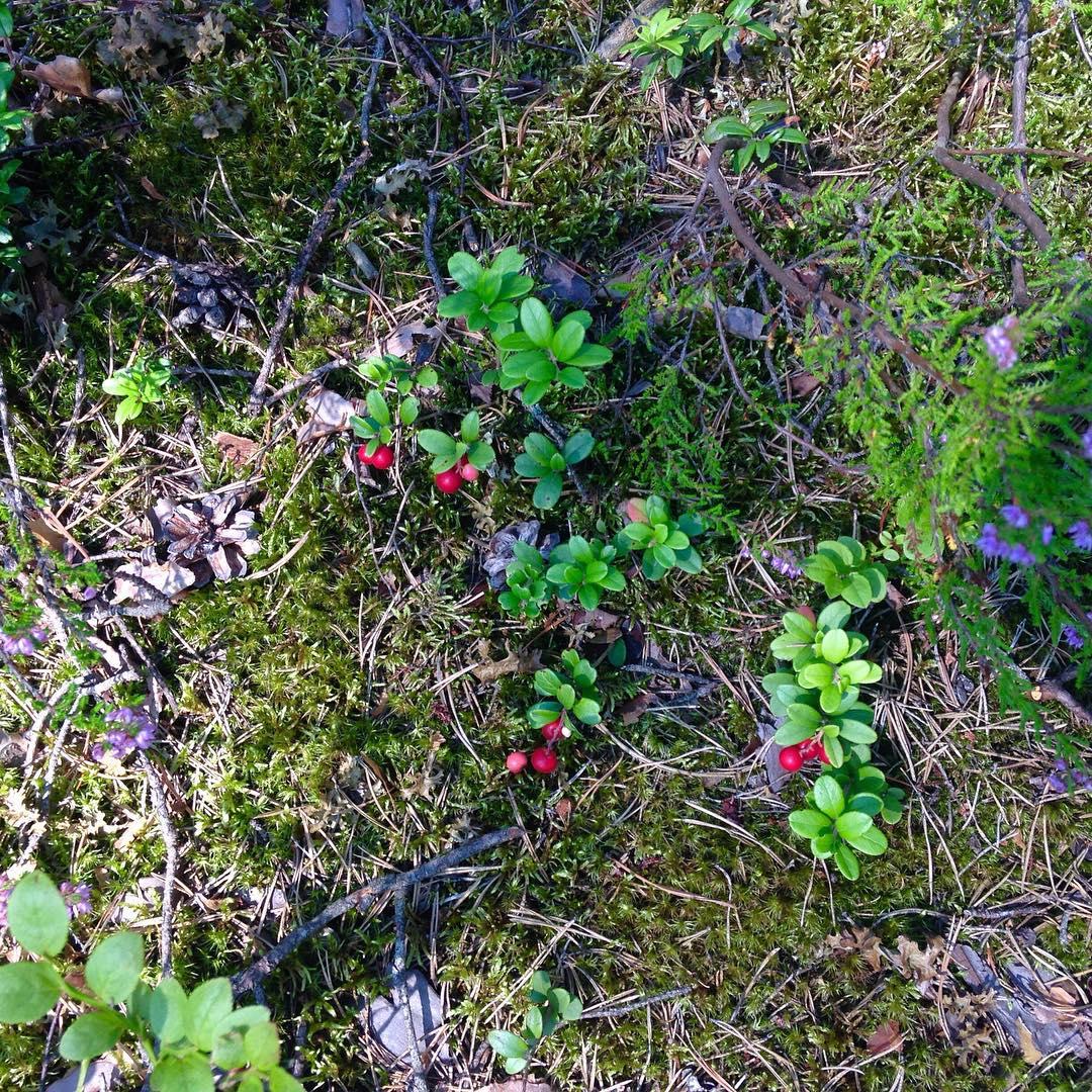 В GREENVALD Парк Скандинавия самый сезон грибов и ягод сейчас много брусники и черники! А скоро во всю пойдут белые грибы!  Ждем в парке семейного и корпоративного отдыха каждый день с 10.00 до 21.00 Координаты: 60.287649, 29.744828